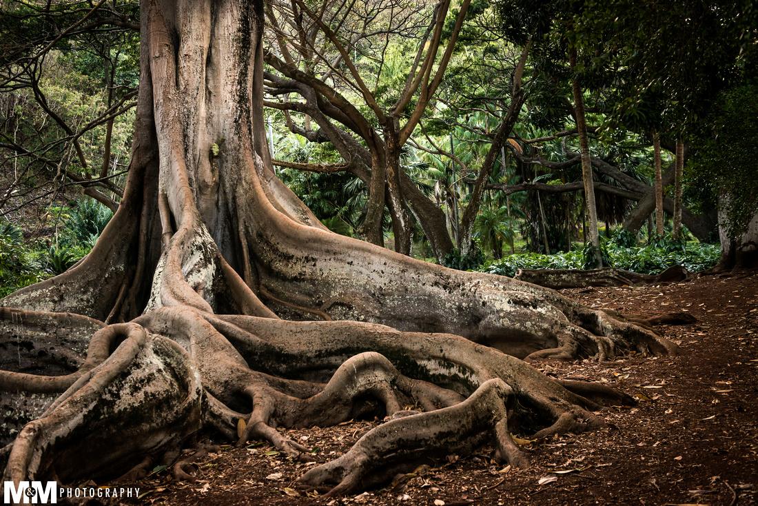 Kauai - Jurrasic Park Tree-1